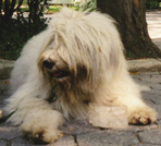 Russian Sheep Dog in Central Park